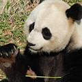 Giant Panda Feeding Himself Shoots Of Bamboo  by DejaVu Designs