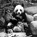 Giant Panda In Black And White by Chris Smith