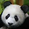 Giant Panda by Julie L Hoddinott