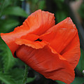 Giant Poppy-2 by Christine Dellosso
