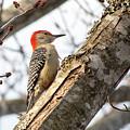 Giant Red Headed Woodpecker  by Steven Jones