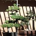 Giant Redwood Bonsai  by Marta Robin Gaughen