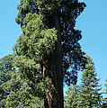 Giant Sequoia, Sequoia Np, Ca by Michael Bessler