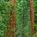Giant Sequoias Sequoiadendron Gigantium Yosemite Np Ca by Dave Welling