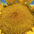 Giant Sunflower by Kevin McCollum