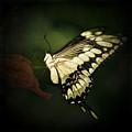 Giant Swallowtail 2 by Ingrid Smith-Johnsen
