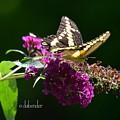 Giant Swallowtail Butterfly by Debra Bender