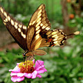 Giant Swallowtail Butterfly by Donna Brown