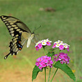 Giant Swallowtail Butterfly II by Donna Brown