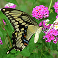 Giant Swallowtail Butterfly  IIi by Donna Brown
