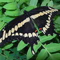Giant Swallowtail Butterfly by Joanne Young