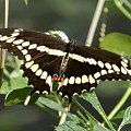 Giant Swallowtail Butterfly by Lisa Kilby