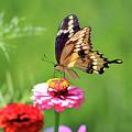 Giant Swallowtail Butterfly On Pink Zinnia by Karen Adams
