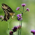 Giant Swallowtail Butterfly On Verbena by Karen Adams