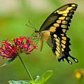 Giant Swallowtail Butterfly by Rich Leighton