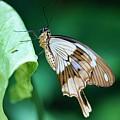 Giant Swallowtail by Kristina Jones