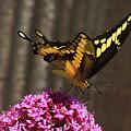Giant Swallowtail  by Lorenzo Williams