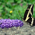 Giant Swallowtail Three by Debra Bender