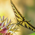 Giant Swallowtail With Yosemite Showy Milkweed by Michael Tidwell