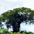 Giant Tree In Amazon Skyline by HQ Photo