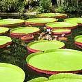 Giant Water Lily Platters by Zina Stromberg
