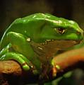 Giant Waxy Monkey Tree Frog by Carol J Deltoro