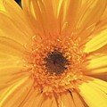 Giant Yellow Daisy by Linda A Waterhouse