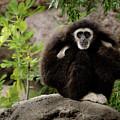 Gibbon by Alexander Fedin