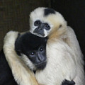 Gibbon Togetherness by Margaret Saheed