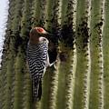 Gila Woodpecker by Dennis Boyd