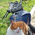 Ginger And White Tabby Cat Sunbathing On A Motorcycle by Tracey Harrington-Simpson