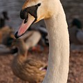 Ginger Swan by Mickey At Rawshutterbug