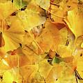 Ginkgo Biloba Leaves by Gaspar Avila