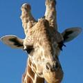 Giraffe 2 by Sara  Raber