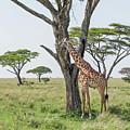 Giraffe 2 by William Morgan