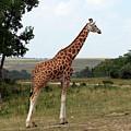 Giraffe 3 by George Jones