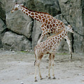 Giraffe And Baby  by Donna Brown