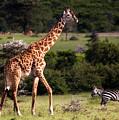 Giraffe And Zebras by Michel Legare