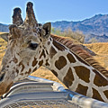 Giraffe At Feeding Station In Living Desert Zoo And Gardens In Palm Desert-california by Ruth Hager
