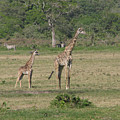 Giraffe Baby by Diane Barone