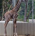 Giraffe Baby Sd Zoo 2015 by Phyllis Spoor