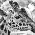 Giraffe Bw by Joshua Wood