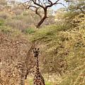 Giraffe Camouflage by Gill Billington