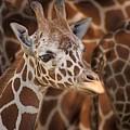 Giraffe - Camouflage by Nikolyn McDonald