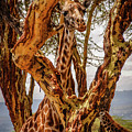 Giraffe Camouflage by Sarah M Taylor