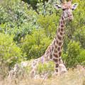 Giraffe by Chris Marrison