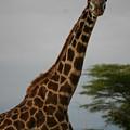Giraffe by Christine Higgins