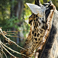 Giraffe Eye by Sissy Schneiderman