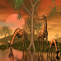 Giraffe Family By John Junek by John Junek