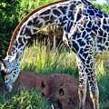 Giraffe Feasting by Elizabeth Abbott